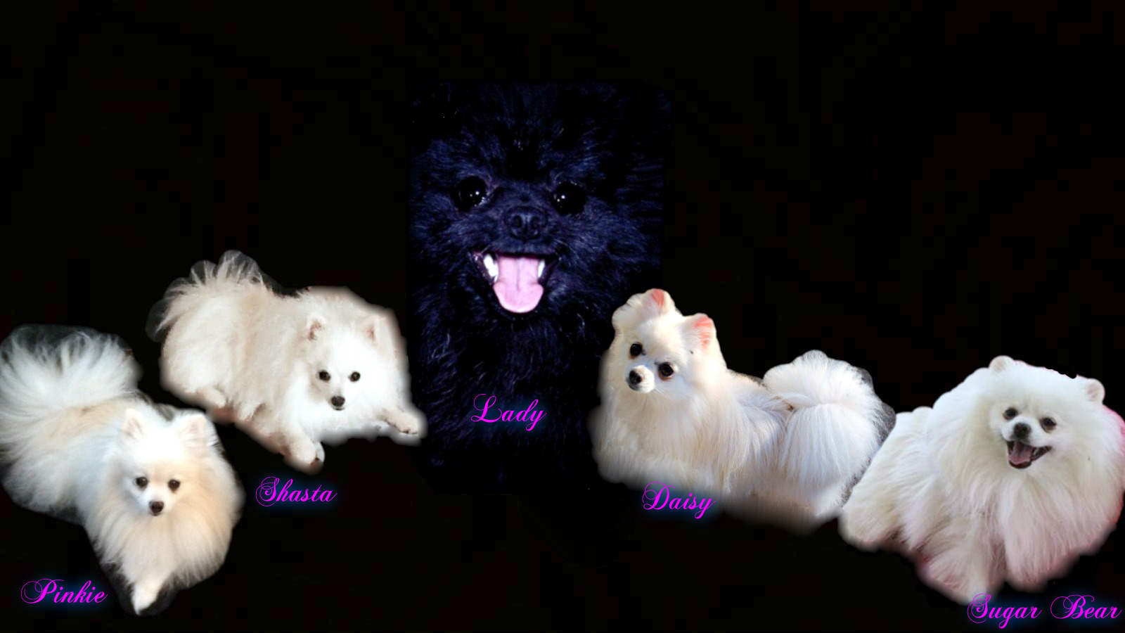 Nolands Akc Registered Tiny Pomeranian Puppies